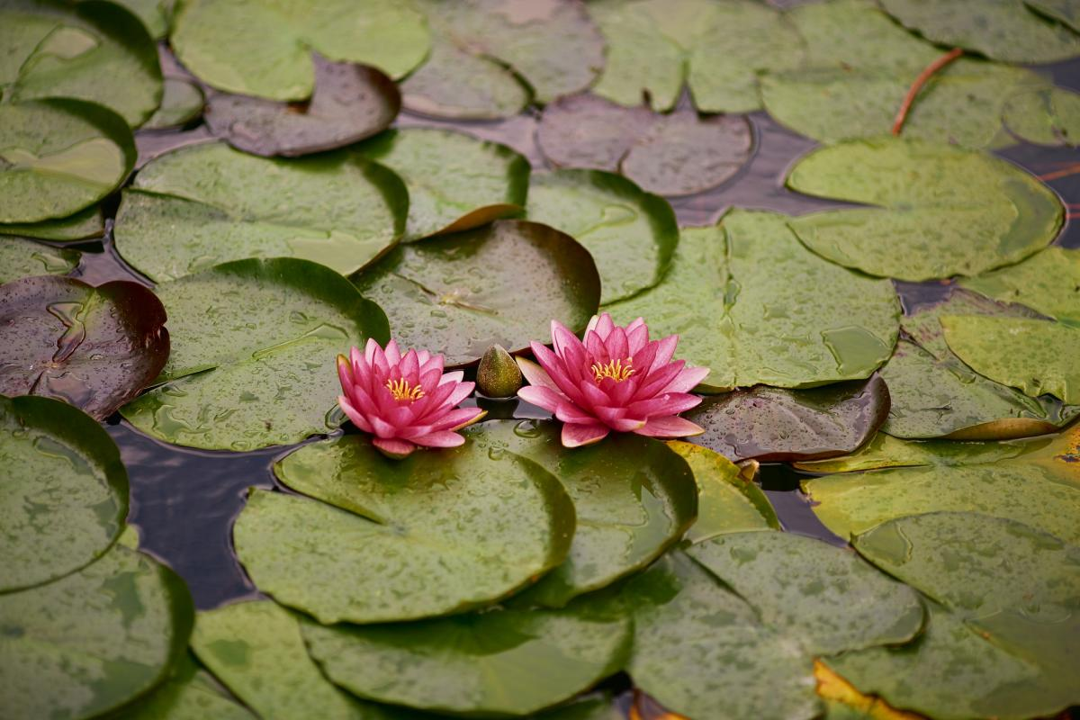 waterlily's yoganest pender island patience pic by pixabay